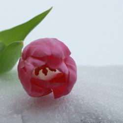 tulp in de sneeuw ??? :)