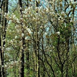 ook lente in het Bos