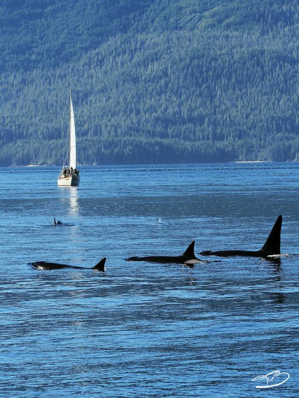 Orkas - Deze killers gespot vlak bij Telegraph Cove, Vancouver Island. De rechter met grote rugvin is een mannetje, de rest zijn vrouwtjes. Kijk goed