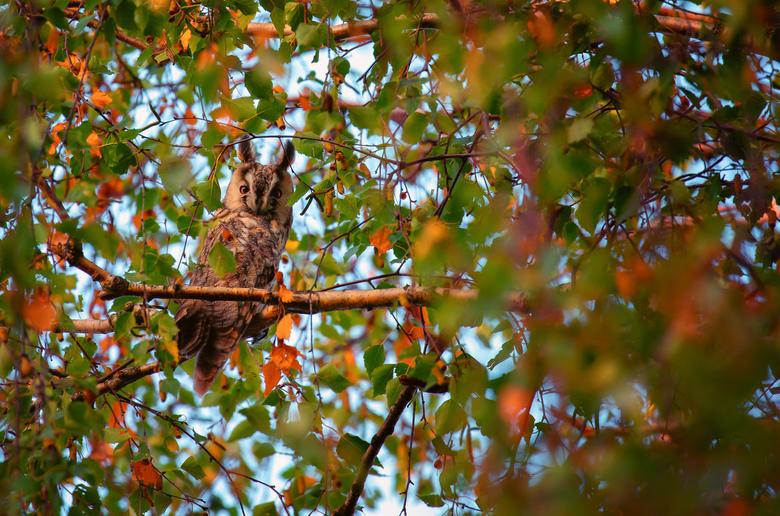 Ransuil tussen de herfstkleuren  - Deze Ransuil hield me goed in de gaten