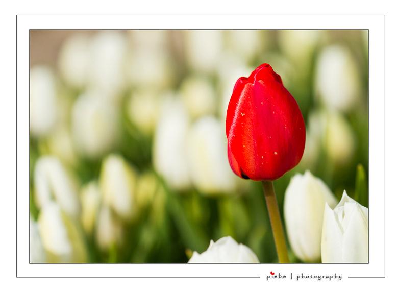 The one and only... - Ben vanmiddag even de Noord Oost Polder in geweest voor bloemen foto's... Deze uitzondering op de regel vond ik wel erg spe