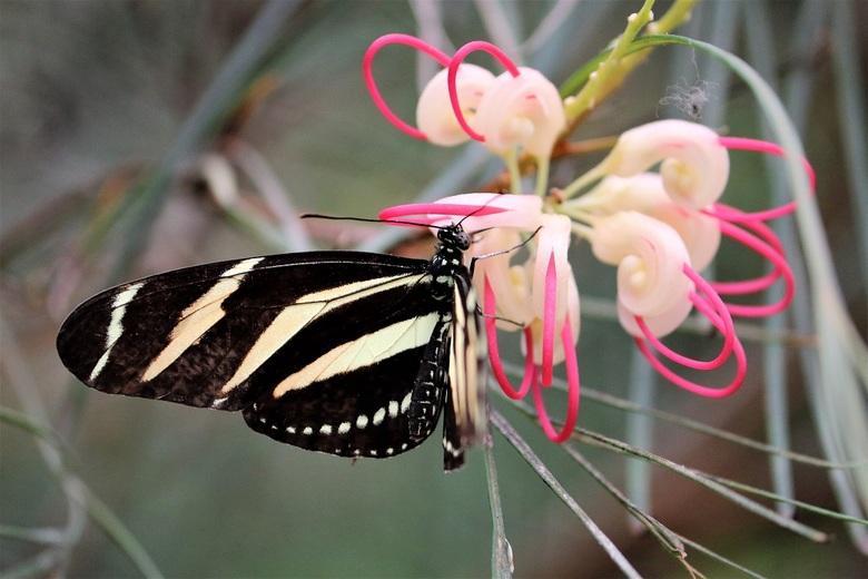 Mooie kleurencombinatie - Longwing op een mooie bloeiende tak