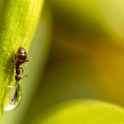 Een mierendorst