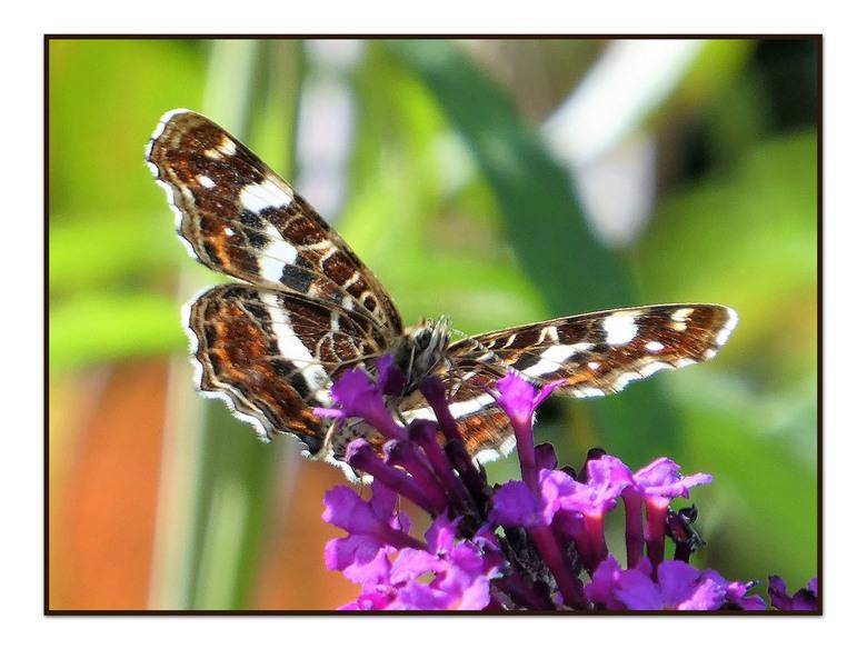 landkaartje -  een vlinder  in de felle zon  gr bets