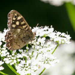Nog een mooi vlindertje.