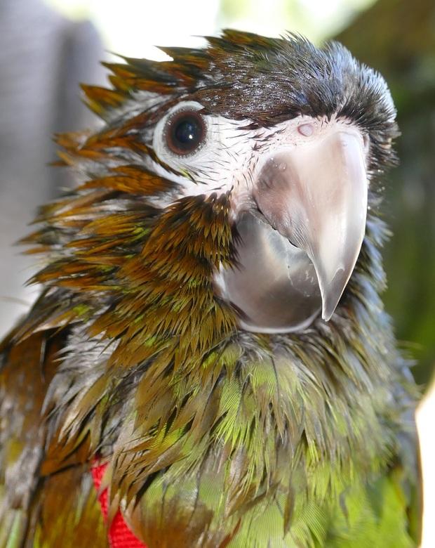 Papegaaienwandeling Goudse Hout: Rani. Ara Nobilis van pas 12 weekjes.
