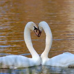 Kissing swan