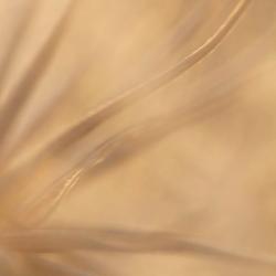 paardebloem pluis