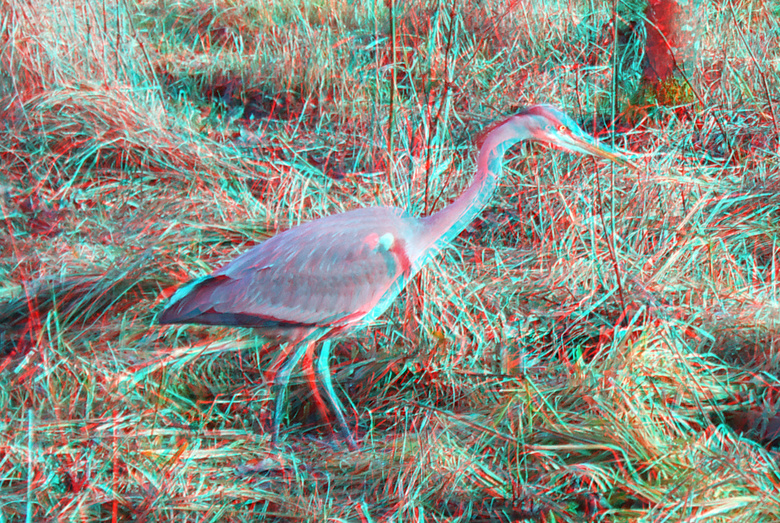 Reiger (Heron) Kralingse-Bos Rotterdam 3D - Reiger (Heron) Kralingse-Bos Rotterdam 3D<br /> anaglyph stereo red/cyan w3