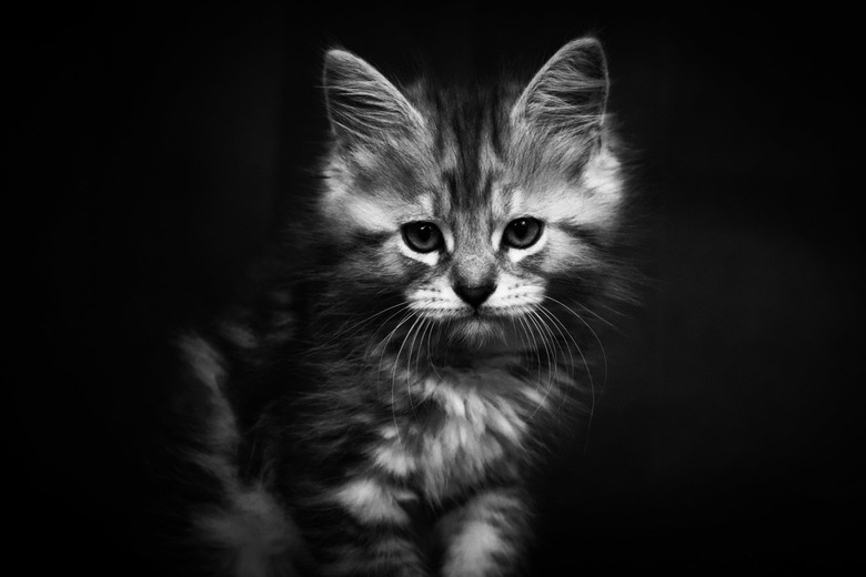 Maine coon kitten  -