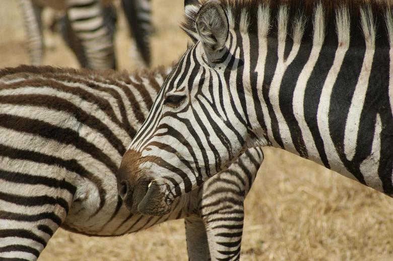 zebra's Tanzania - zebra's in Tarangire NP Tanzania.