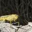 Bloemkoolsprinkhaan (Anacridium aegypticum)