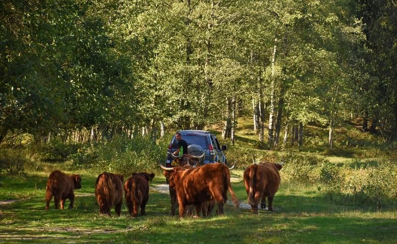 Verplaatst - Een plaatje van vorige week.<br /> De stiertjes worden groot en het is nu al zover dat het oudste kalf pogingen doet om de koeien te dek