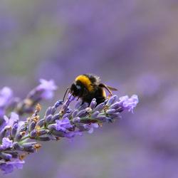 Hommel tussen de lavendel
