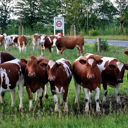 09 koeien.