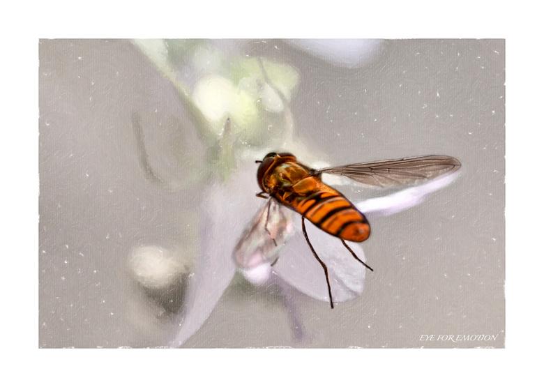 """Op weg naar de nectar... - Eindelijk eens een zweefvlieg in z&#039;n vlucht kunnen pakken..met z&#039;n piama nog aan...het was nog vroeg <img  src=""""/"""
