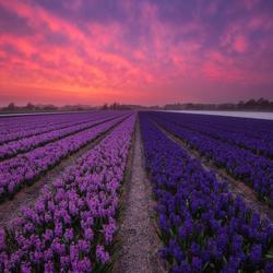 Hyacinths on Fire