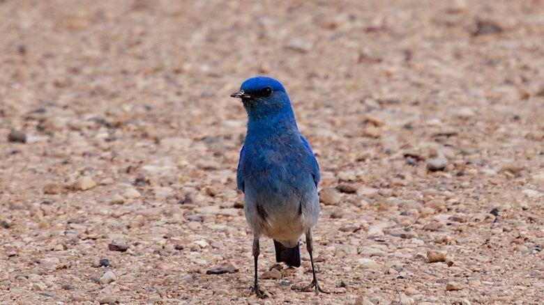 mountain bluebird - leefgebied c.a. US.