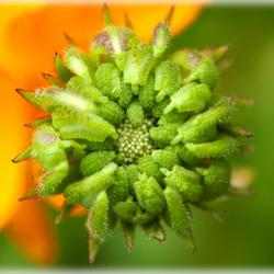 bloem in de knop