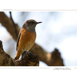 Common Redstart, Kenia