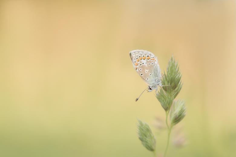 """In het avondlicht - Gisteravond gezamenlijk met Hanny, Betty en Lia op zoek gegaan naar vlindertjes op """"ons"""" veldje, het was even speuren ma"""