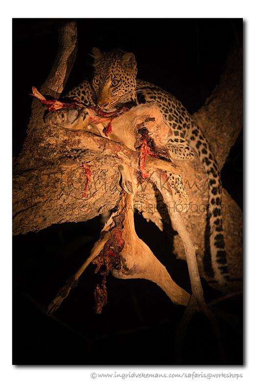 The Prince Of Darkness - Wanneer de duisternis valt in Afrika, komt de strijd op leven en dood op zijn hoogtepunt. <br /> <br /> South Luangwa, Zamb