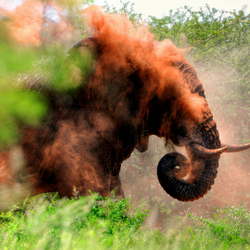 Elephant's Dust Bath