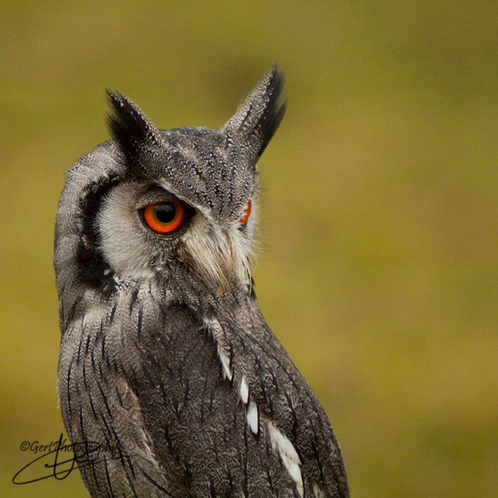 Afrikaanse Dwergooruil - Een van de modellen op mijn workshop roofvogelfotografie