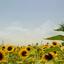 Zonnebloemen in Drenthe