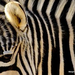 Zebrastreep