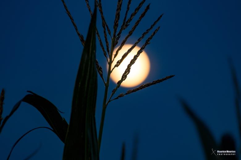 Zie de maan schijnt door het mais....