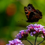 Dagpauwoog op bloem
