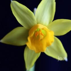 Narcis.jpg