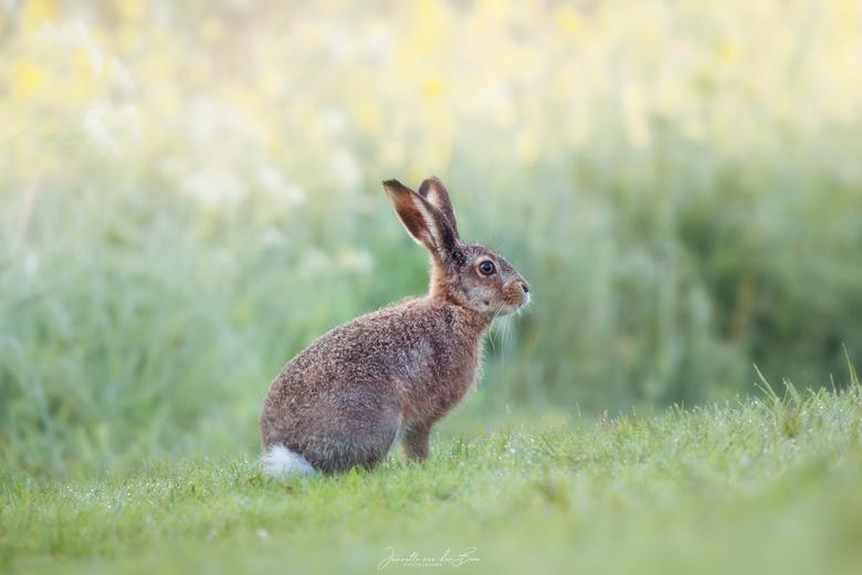 Haasje in het groen - Loop je op een vroege lenteochtend in een mooi gebied verschijnt er plotseling een haas op je pad.. dus wat doe je dan..plat op