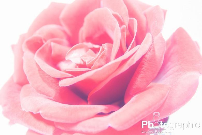 High Rose - High-key opname van een rode roos<br />