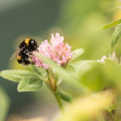 The lucky bumblebee