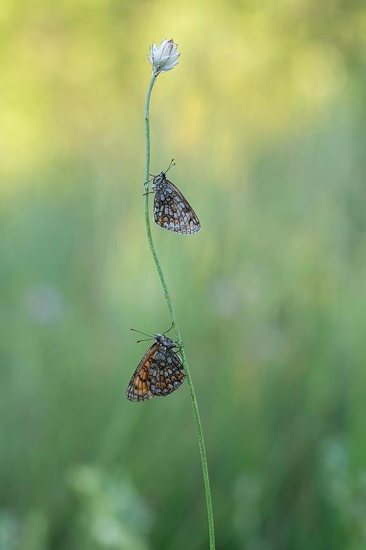 twee parelmoervlinders onder de dauw Zoom - 's Morgens vroeg in het veld zaten deze twee parelmoervlinders op een bloemstengel nog op te drogen d