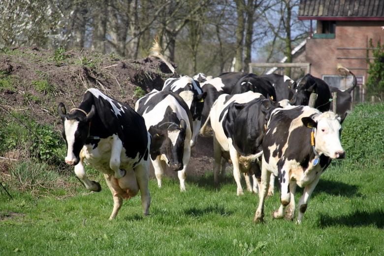 foto koeien bij de boerderij zwart wit