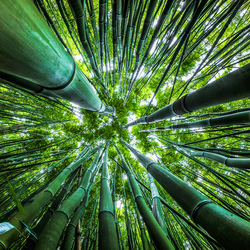 Dazzling Bamboo