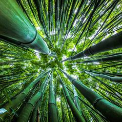 Dazzling Bamboo