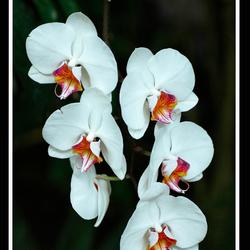 Een Orchidee
