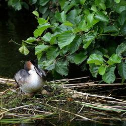 Fuut op nest met eieren