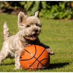 Spike-west highland terrier