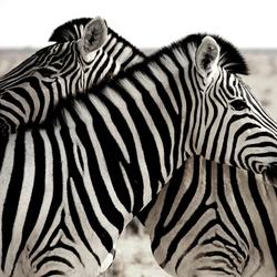 Zebra's in Etosha, Namibië