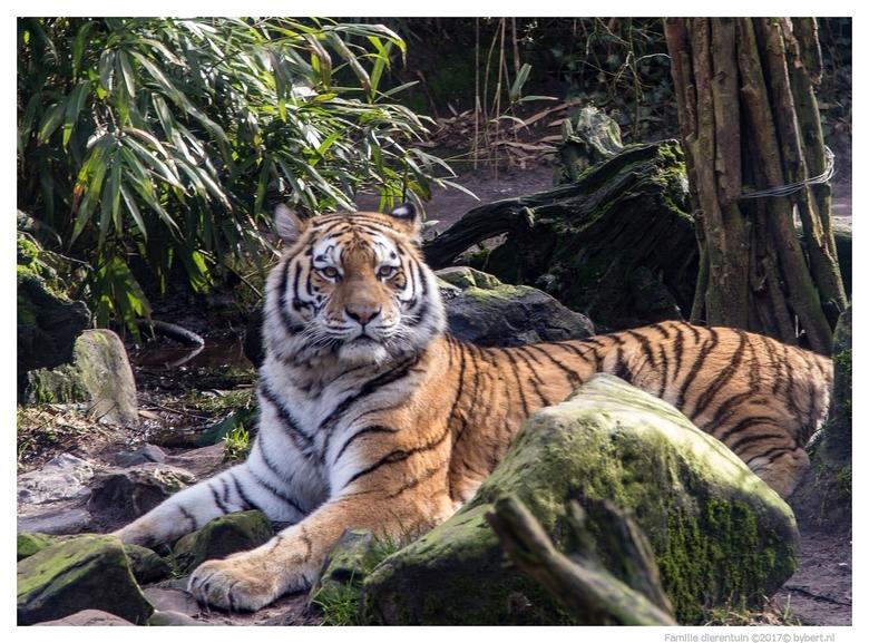 4345 tijger - dierentuin Amersfoort tijger