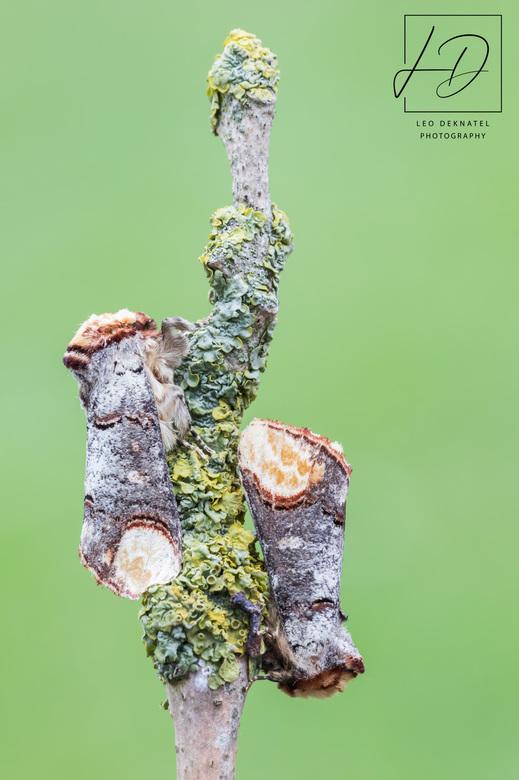 Wapendrager - Wapendrager<br /> (Phalera bucephala)<br /> <br /> Als wij op één oor gaan worden zij aktief. Er zijn zelfs meer nachtvlinders dan da