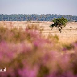 Kalmthoutse Heide in bloei