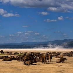 Panorama opname van groep Buffels Lake Nakuru ( Kenia )