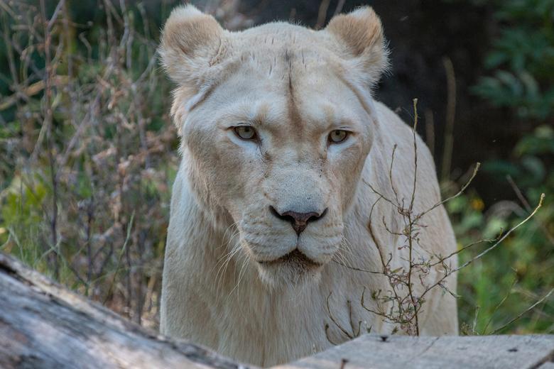 Witte leeuwin -