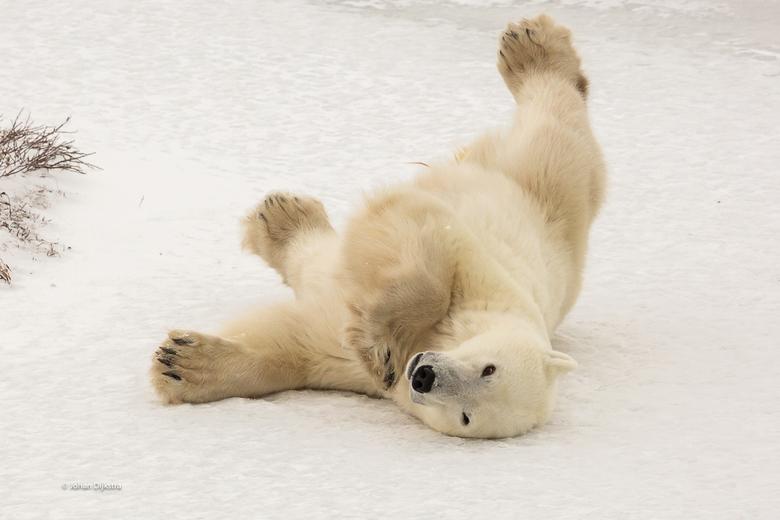 Churchil IJsberen yoga - Op het ijs even lekker schurken en rekken